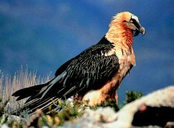 20090320140927-ejemplar-quebrantahuesos-especies-amenazadas-fauna-iberica.jpg